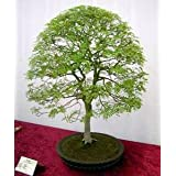 9GreenBoxs: Chinese Pistachio10 Seeds - Outdoors or Bonsai