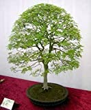 Chinese Pistachio10 Seeds - Outdoors or Bonsai