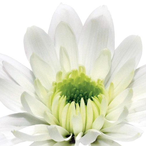 Platin Art Deco Glass Wall Decor - Art on Glass - White Daisy Cup,  12-by 12-Inch