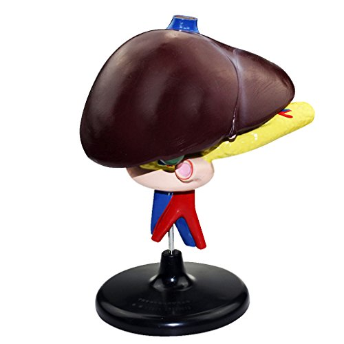 Baoblaze 10.6-inch PVC Human Liver Pancreas Duodenum Model for Medical Learning Lab Supplies ()