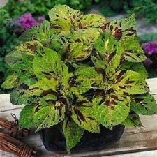 Coleus Annual (50+ Coleus Wizard Mosiac Shade Loving Flower Seeds/Annual / Great Gift)