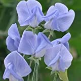 Annual Flora Norton Sweet Pea Certified 25 Seeds #003 Item UPC#636134972786