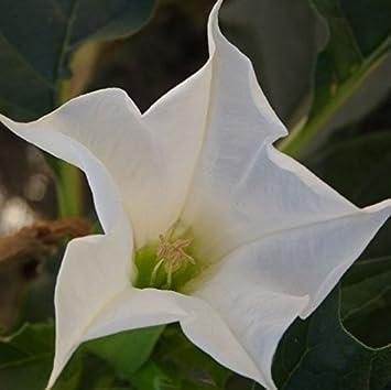 White datura flower seeds dwarf brugmansia suaveolens flamenco white datura flower seeds dwarf brugmansia suaveolens flamenco angels trumpets bonsai seed for home garden mightylinksfo
