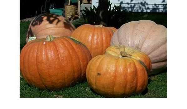 Atlantic Giant Pumpkin seeds 5