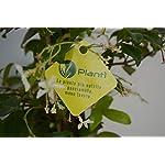 PLANTI-Piante-vere-da-esterno-GELSOMINO-Rincospermun-Piante-da-giardino-Gelsomino-rampicante-piante-da-esterno-vere-e-piante-rampicanti-da-esterno-180-CM