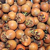 Medlar Tree 50 Fresh Seeds