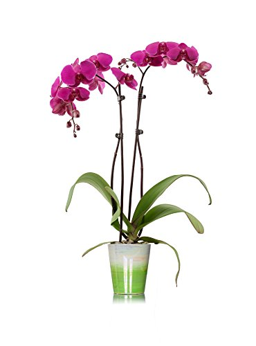 Just Add Ice 304204 Classic Green Watercolor Phalaenopsis Orchid, (Just Add Ice)