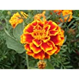 Richters French Marigold Seeds