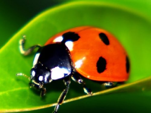 300 Live Ladybugs - Good Bugs - Ladybugs - Guaranteed Live D