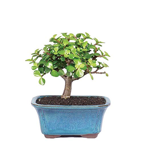 Brussel's Bonsai Live Dwarf