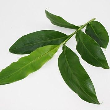Zimt Pflanze Zimt-Aroma ELETTARIA CARDAMOMUM