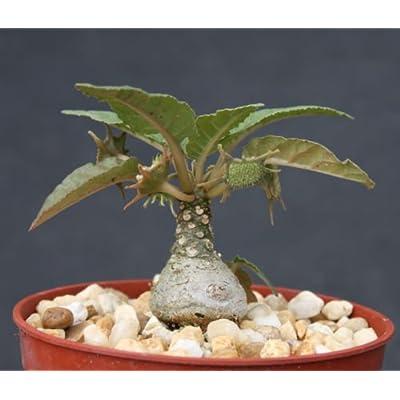 """Dorstenia foetida Exotic Bonsai Caudex Rare Succulent Plant Cactus Cacti 4"""" Pot: Garden & Outdoor"""