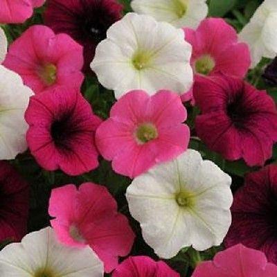 25 Pelleted Petunia Seeds Shock Wave Power Mix Garden Starts