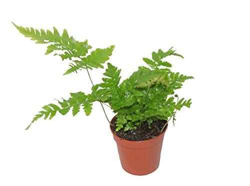 Autumn Fern aka Dryopteris erythrosora Live Plant Japanese Wood Fern, Copper Shield Fern Live Indoor Plants Fit 4