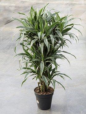 Drachenbaum, Dracaena deremensis, ca. 105 cm, große Zimmerpflanze, 21 cm Topf