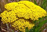 David's Garden Seeds Flower Achillea Yarrow Gold D3323A (Gold) 500 Heirloom Seeds
