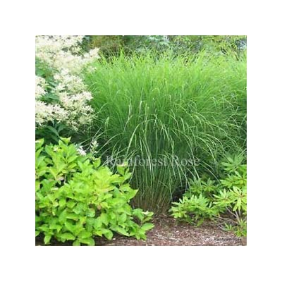 Miscanthus Gracillimus 21 Ornamental Grasses Wholesale lot Zone 5-10 : Garden & Outdoor