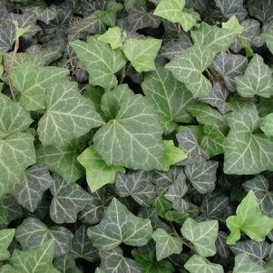 Five Lobe Stem (Hedera helix 'Baltica' Baltic Ivy, is evergreen. Leaves are dark green with distinct white veins. One of the hardiest of all ivies. - Will ship you set of 25 plants shipped in Classic Pint size)