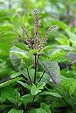 David's Garden Seeds Herb Basil Tulsi Holy (Green) 500 Organic Seeds