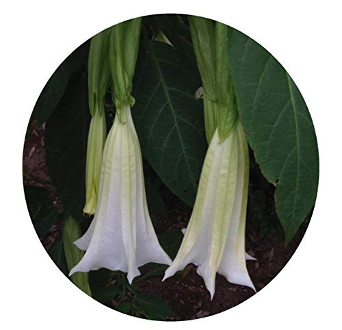 Brugmansia Angel Trumpet - Giant White Brugmansia Angels Trumpet Live Tropical Plant Large Fragrant Pure White Flowers Starter Size 4 Inch Emerald TM