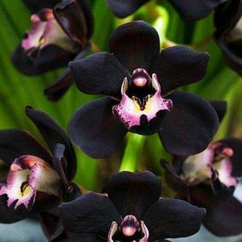 Amazon Com 100 Pcs Unique Black Cymbidium Faberi Flower Seeds