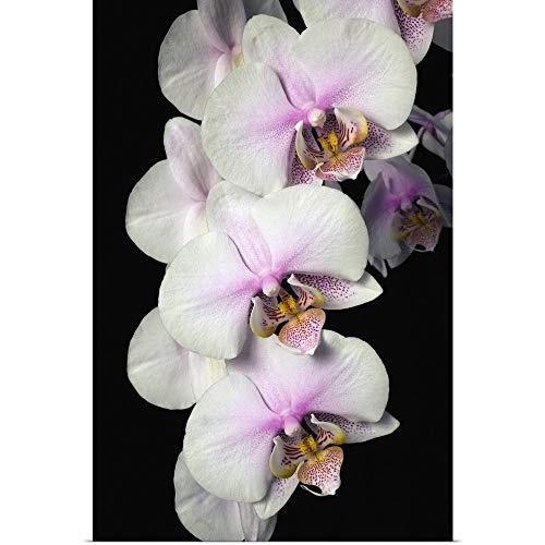 GREATBIGCANVAS Poster Print Entitled Orchids by David Chapman 40