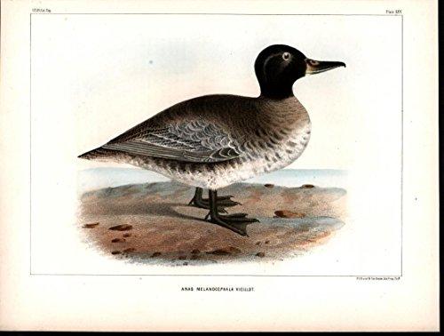 South American Black Head Duck Chile 1855 antique color lithograph Bird print