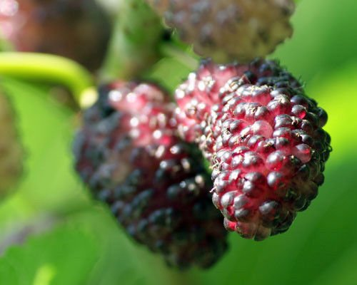 4 Trees...Mulberry Dwarf Everbearing Black Fruit, Morus nigra, LIVE Potted Plant