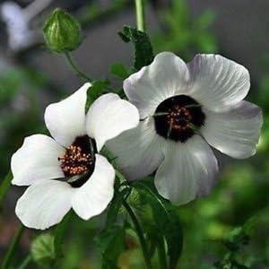 Hibiscus trionum Simply love, Ketmie d'Afrique 41-gZ4ZuicL._AC_
