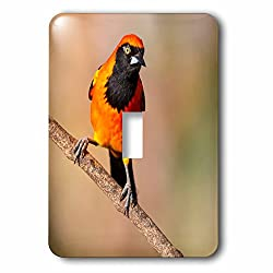 3dRose Danita Delimont - Birds - Brazil, Mato Grosso, The Pantanal, Orange-backed Troupial on a branch. - Light Switch Covers - single toggle switch (lsp_258348_1)
