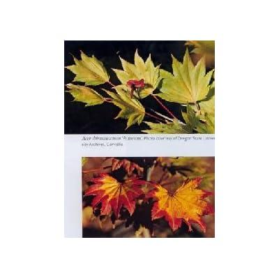 Aureum Full Moon Japanese Maple - 1 Year Graft : Maple Trees : Garden & Outdoor