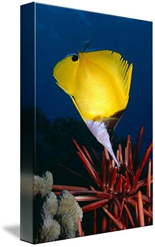 Long Nose Butterfly Fish (Imagekind Wall Art Print entitled Hawaii, Long Nose Butterfly Fish by Design Pics | 16 x 24)