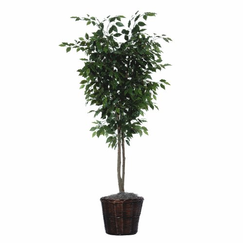 Ficus Bush - 8