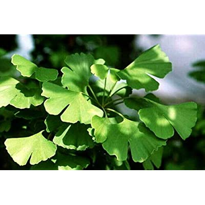 Ginkgo/Gingko biloba - Maidenhair Tree - Living Fossil Tree - Quart Pot : Garden & Outdoor