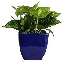 EXotic Green Indoor Hybrid Money Plant
