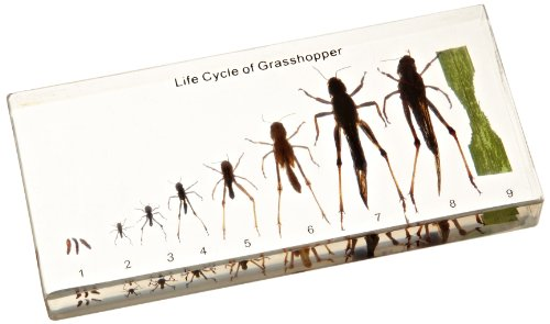 NatureBlocks Acrylic Block Life Cycle Display: Grasshopper