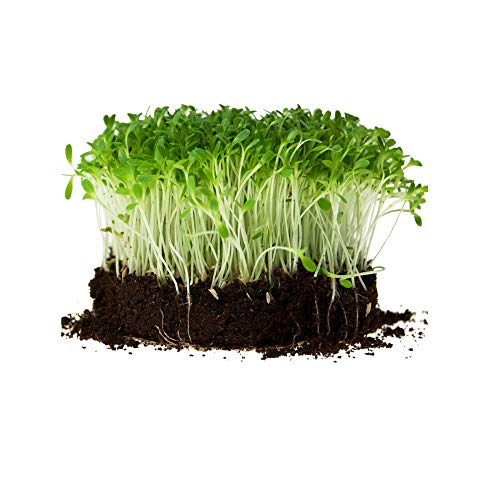 Romaine Lettuce Seeds - Parris Island Cos Variety - 1 Lb - Heirloom Garden Seed - Non-GMO Lettuce and Microgreens Seed