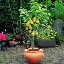Bonsai Pear Tree Seeds (10 Pieces Per Bag) Plus Gift Perennial Bonsai
