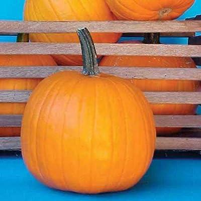 5 Rare New Hybrid Neon Pumpkin Seeds : Garden & Outdoor