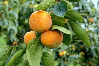 Maekawa Jiro Japanese Persimmon Tree Grafted NO SHIPPING TO CA, AZ, AK, HI, OR or WA PER YOUR STATE LAWS by Martha's Secrets