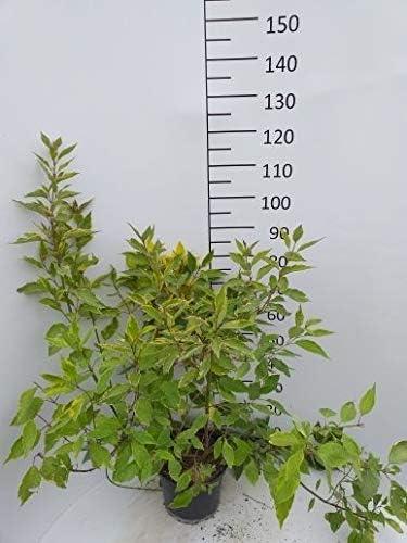 Sp/äth Gelbbunter Hartriegel Zierstrauch winterhart Gartenpflanze gelb bl/ühend 1 Pflanze Container C 3