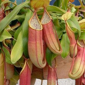 nthes, Sanguinea LIVE PLANT Carnivorous Get Rid of Insects Naturally (Pitcher Plant Terrarium)