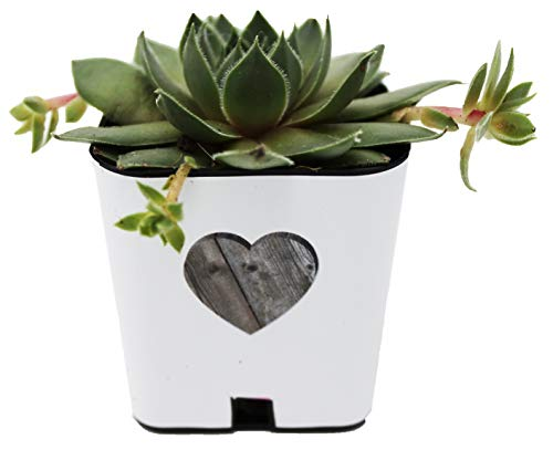 (PRODUCT80 Succulent Wraps for Favors, for 2
