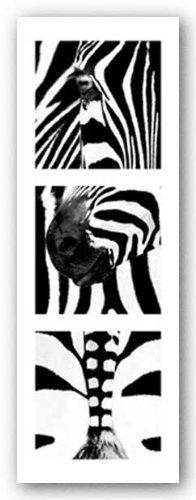 Zebras By Rocco Sette 33 5 X10  Art Print Poster