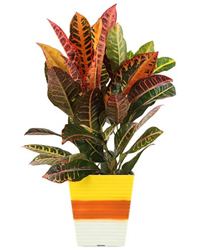 Costa Farms 6-inch Croton Petra, Live Plant in