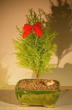Bonsai Boy's Lemon Cypress Bonsai Tree cupressus macrocarpa