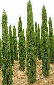 (seedusa 15 Seeds Mediterranean Cypress (Cupressus Sempervirens) Pine Tree)