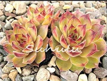 Vistaric 100 piezas asombrosas plantas de Sempervivum Mezclado Mini Jardín Suculentas Semillas de cactus Perennes -House Leeks Live Forever Easy to Grow 10: Amazon.es: Jardín