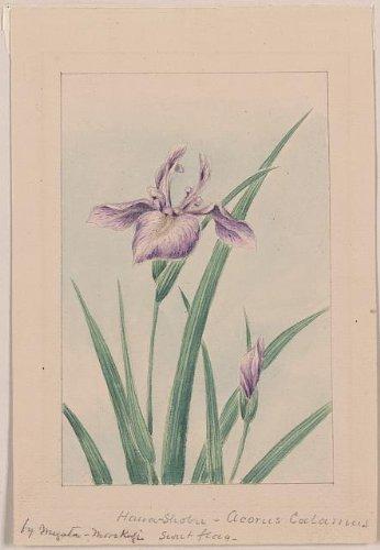 HistoricalFindings Photo: Photo of Hana-strobel? acornus Calamus,Sweet Flag/Megata Morikaga,Japan,c1870
