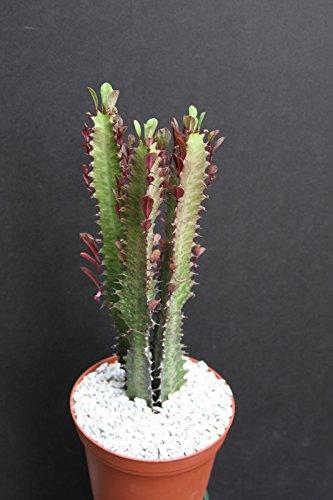 EUPHORBIA TRIGONA RUBRA African Milk Tree rare cactus plant exotic succulent 6